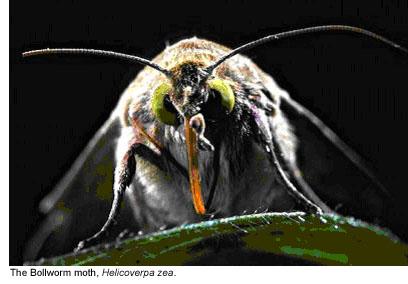 Bollworm