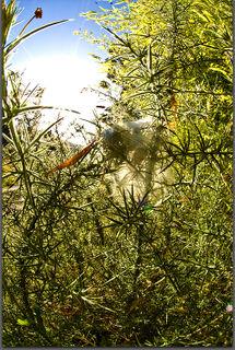 080202-spider-nest-in-gorse